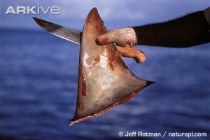 medium-Fisherman-holding-dorsal-fin-cut-from-scalloped-hammerhead